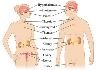 The endocrine system adrenals biology en endocrine hormones the endocrine system adrenals biology en endocrine hormones hypothalamus organism ovaries pituitary regulatory glogster edu interactive ccuart Choice Image